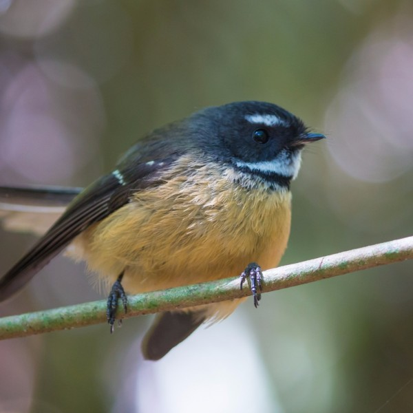 new-zealand-fantail-picture-id178836702.jpg